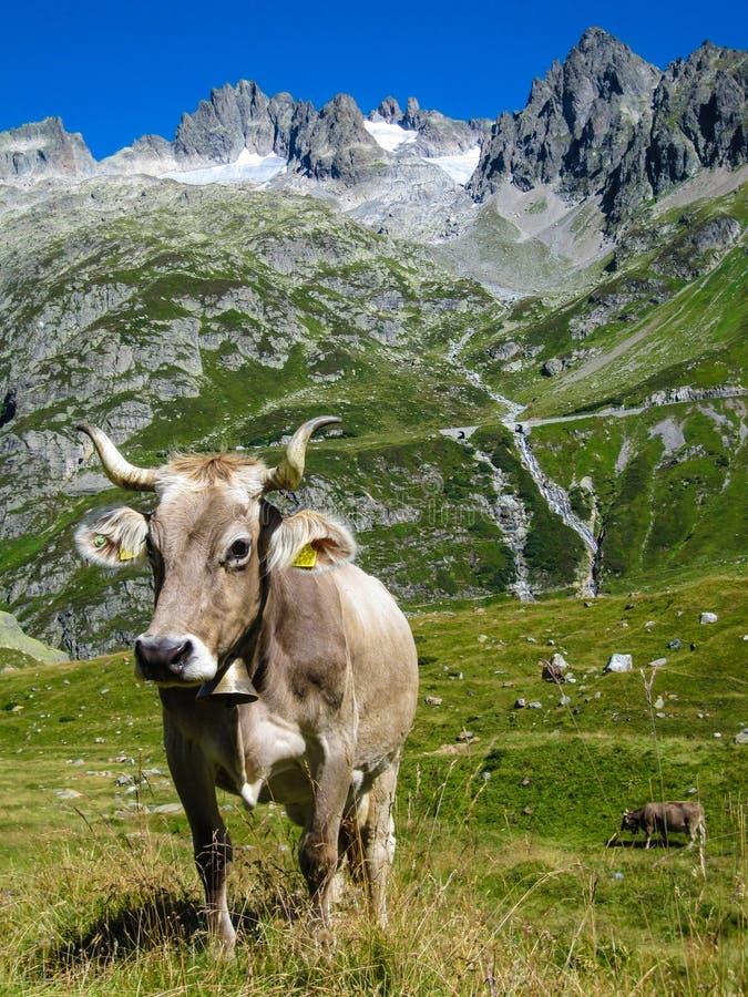 站立在高山草甸的瑞士母牛 免版税图库摄影