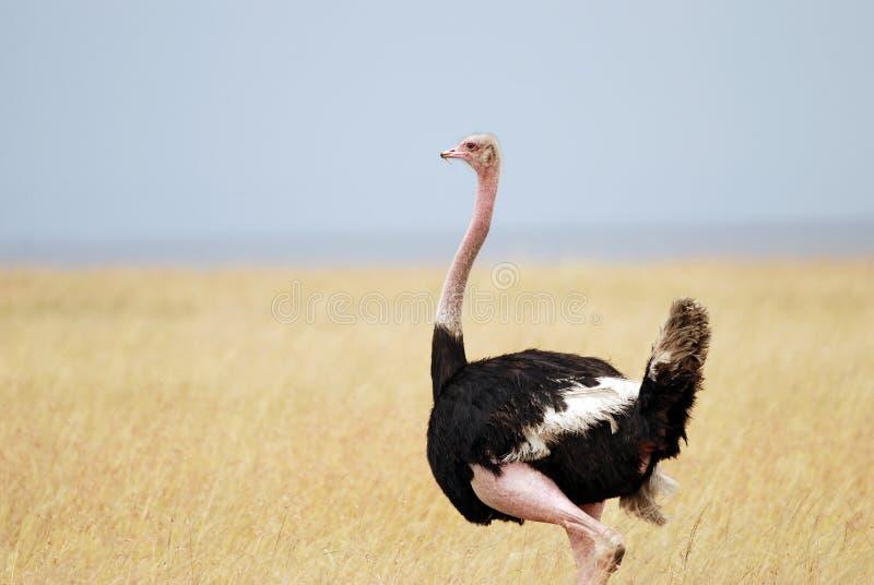 站立在高草和蓝天背景的非洲大草原的驼鸟  库存图片