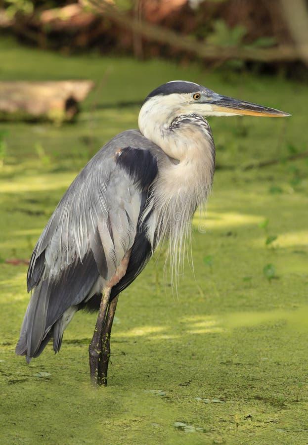 站立在鸭子杂草沼泽的伟大蓝色的苍鹭的巢 免版税图库摄影