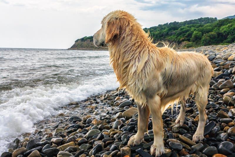 站立在黑海海岸Pebble海滩的湿浅褐色的狗在夏天观看的波浪在岸冲浪 库存图片