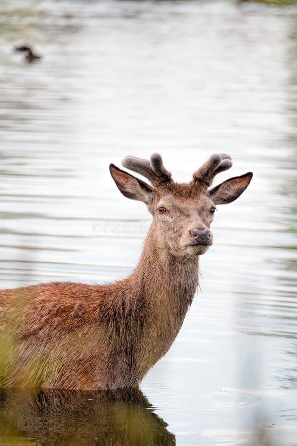 站立在水中的幼小鹿 库存图片