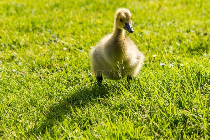 站立在绿色的鸭子调遣外面 免版税库存图片