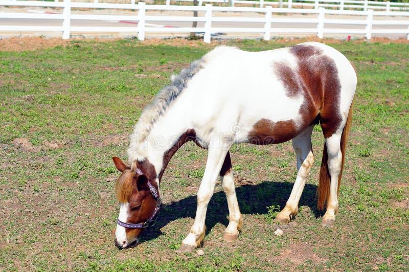 站立在绿色草坪的小的马 免版税库存图片