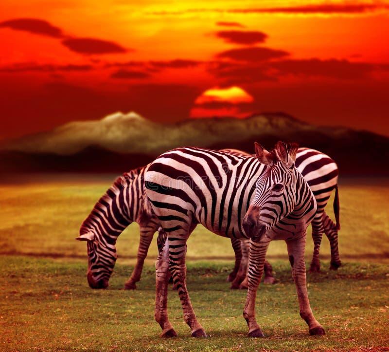 站立在绿草领域的野生斑马反对美丽暗淡 库存照片