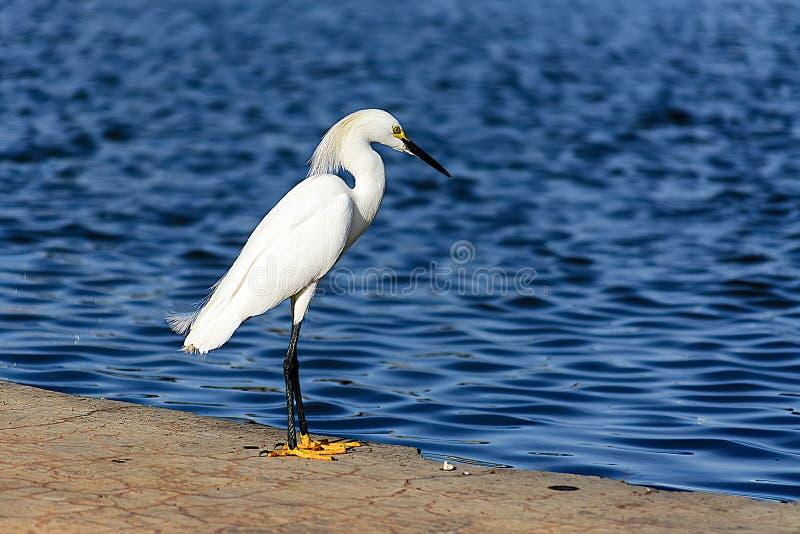 站立在水附近的Samll白鹭 免版税图库摄影