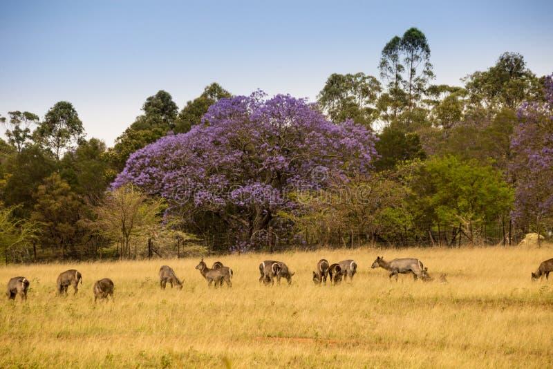 站立在Mlilwane野生生物保护区,斯威士兰大草原的Waterbucks牧群  免版税库存图片