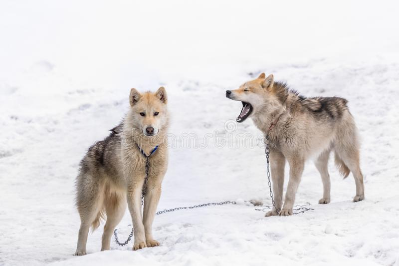 站立在sno的戒备的两只格陵兰因纽特人拉雪橇狗 库存图片