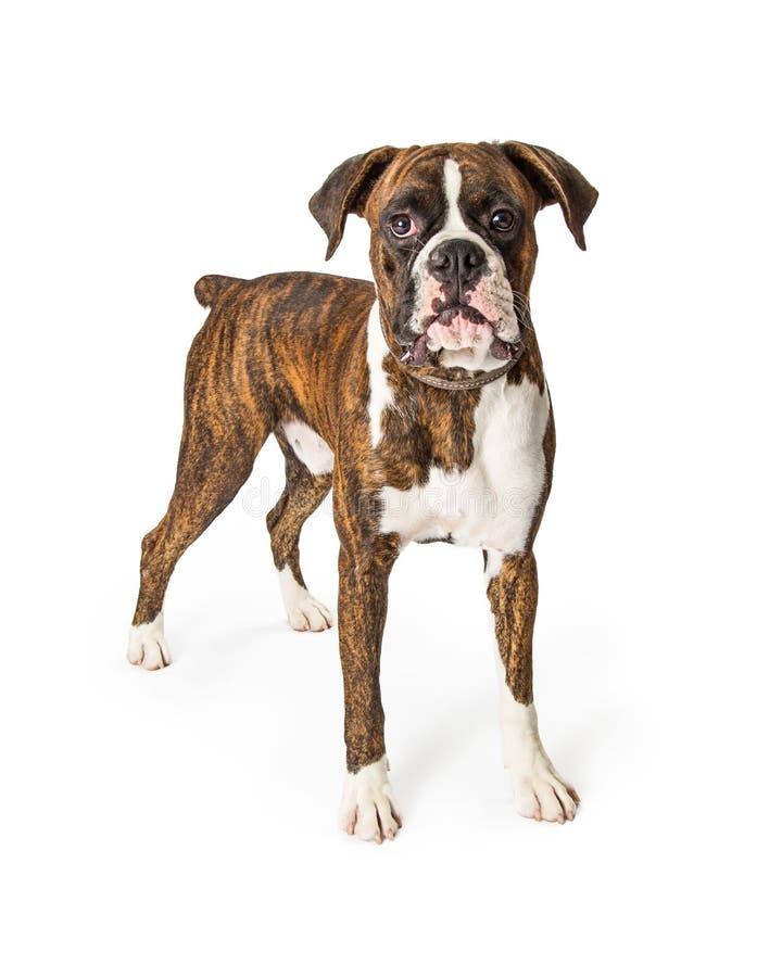 站立拳击手纯血统的狗今后看 免版税库存照片