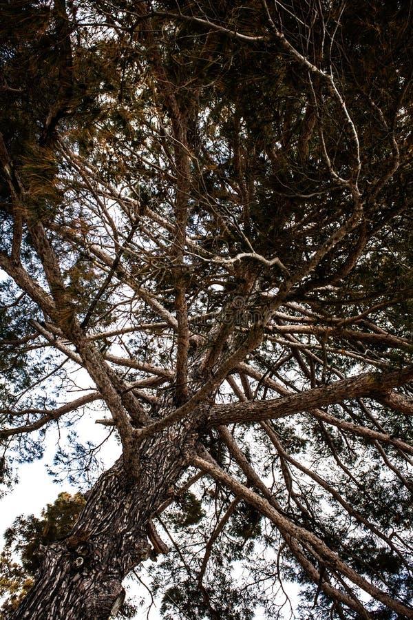 站立树向上的射击高往多云天空 干燥分支、大树枝和枝杈角度图  室外的本质 免版税库存图片
