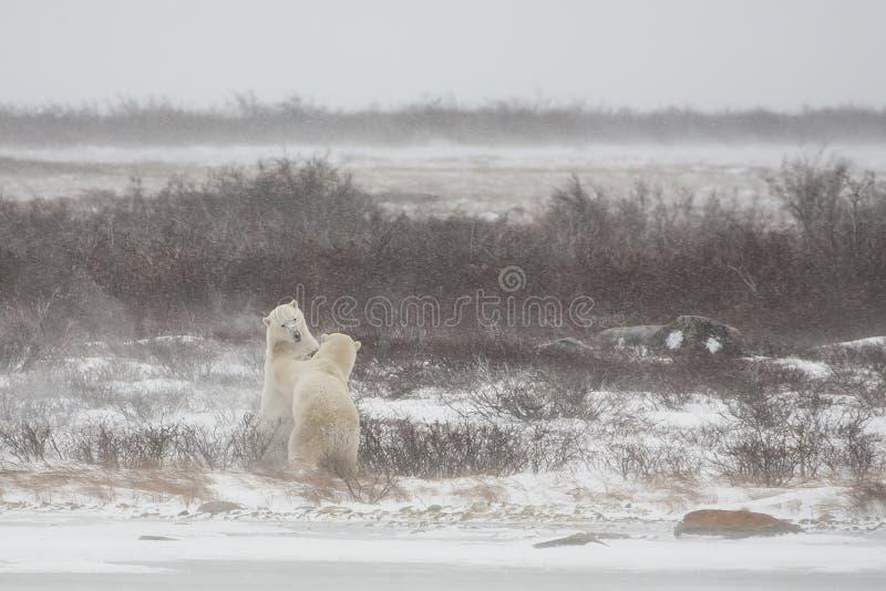 站立男性的北极熊,当假装争吵时 库存照片