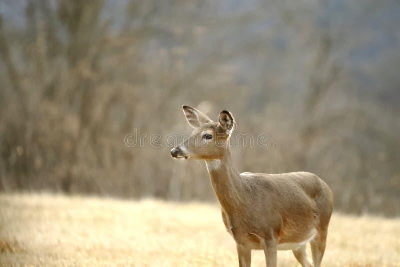 站立白尾鹿的母鹿不动 库存图片