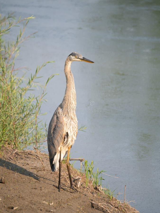 站立的伟大蓝色的苍鹭的巢高在河边缘 库存图片