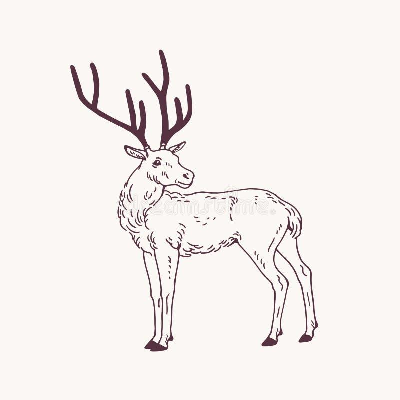 站立的公鹿、驯鹿或者雄鹿美丽的略图与鹿角 优美的森林动物手拉与 向量例证