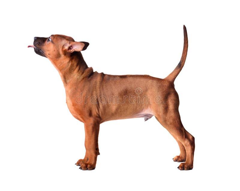 站立的泰国Ridgeback小狗 库存照片