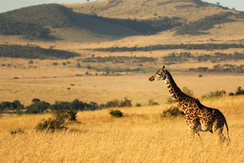 站立的长颈鹿高,马塞语玛拉,肯尼亚,非洲 库存照片