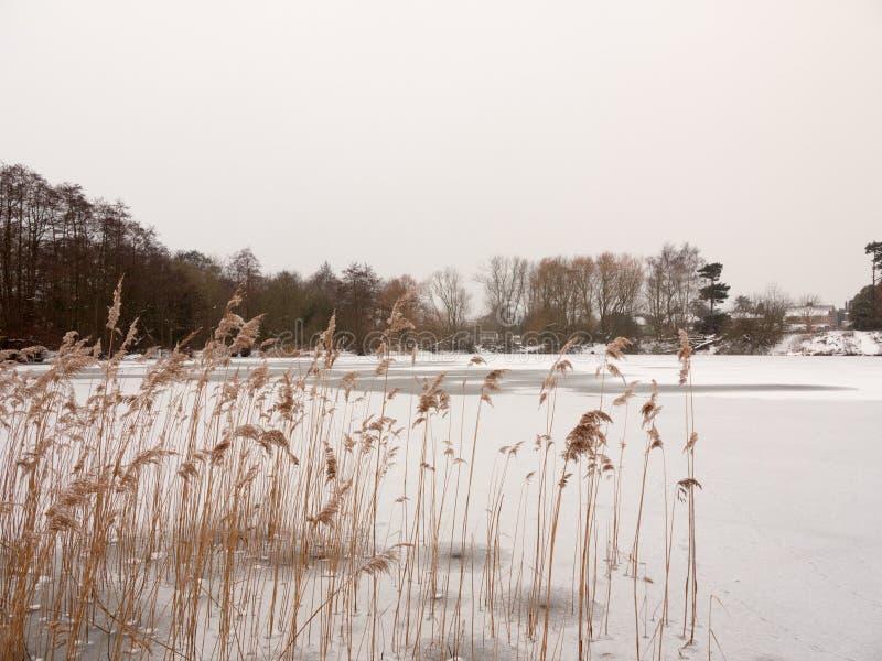 站立结冰的湖的芦苇在自然冬天c之外浇灌表面 免版税库存图片
