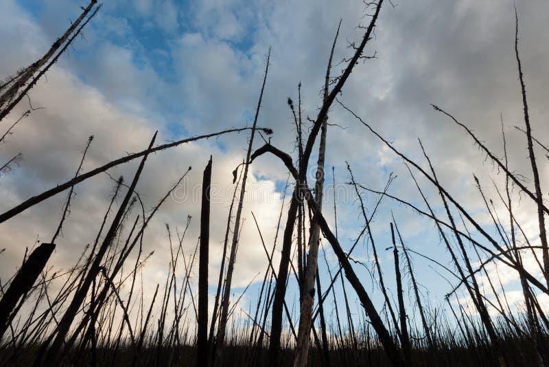 站立被烧的北方森林被烧焦的树死 免版税库存照片