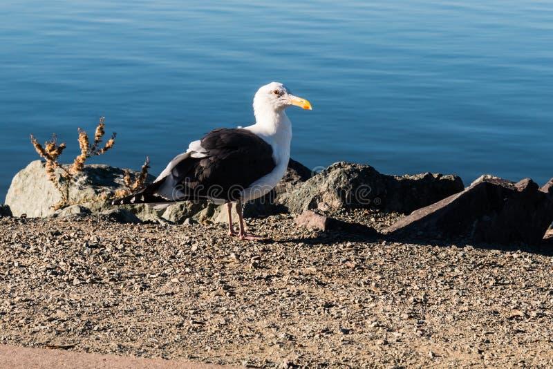 站立近的岩石和水的海鸥 免版税库存照片