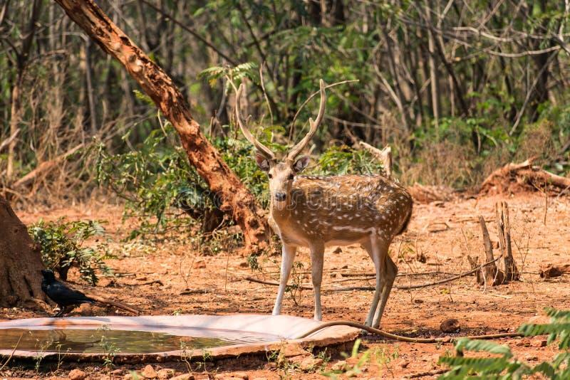 站立近的木盆的水鹿鹿在动物园在晴天 免版税图库摄影