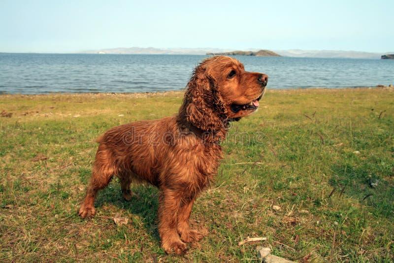 站立近的水的湿狗西班牙猎狗斗鸡家 库存照片