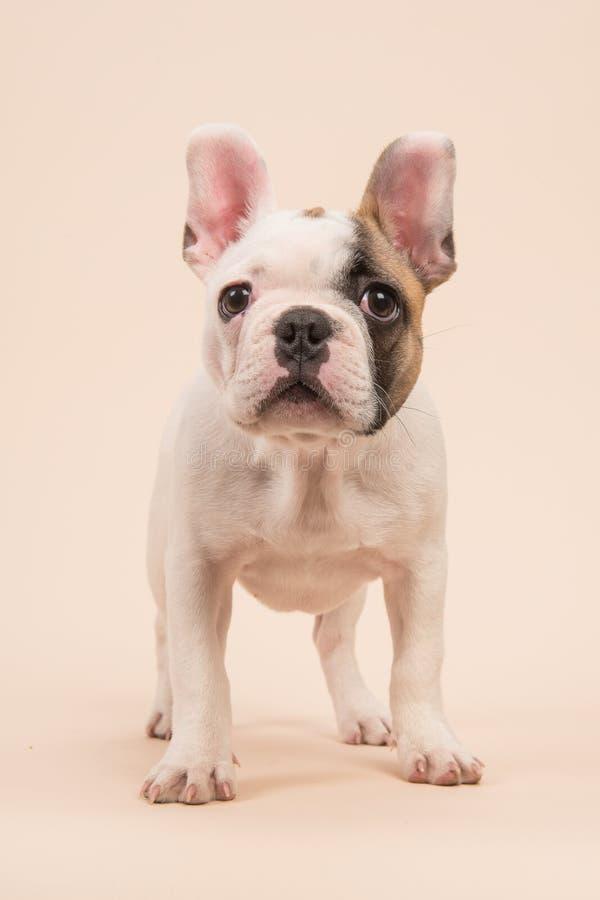 站立逗人喜爱的几乎白色法国牛头犬的小狗看在奶油的照相机上色了背景 免版税库存照片