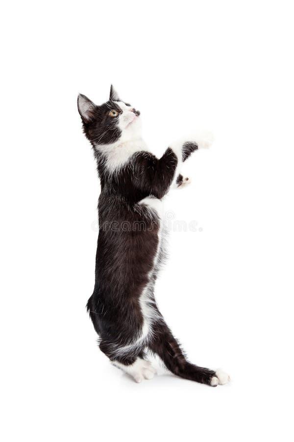 站立滑稽的小猫跳舞 免版税库存照片
