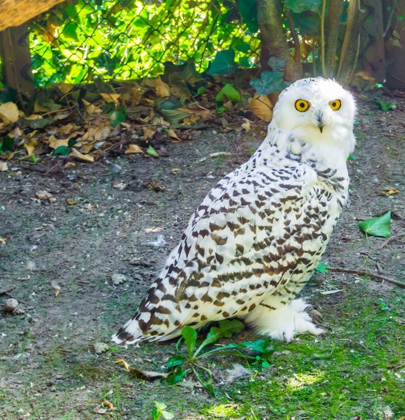 站起来和看往在关闭的照相机的雪白色猫头鹰 免版税库存图片