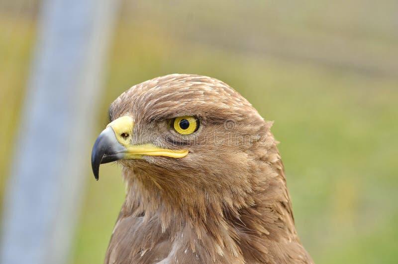 站起来接近的老鹰题头的立场 库存照片