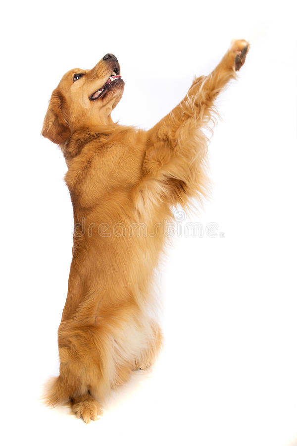 站起来的金毛猎犬 免版税图库摄影