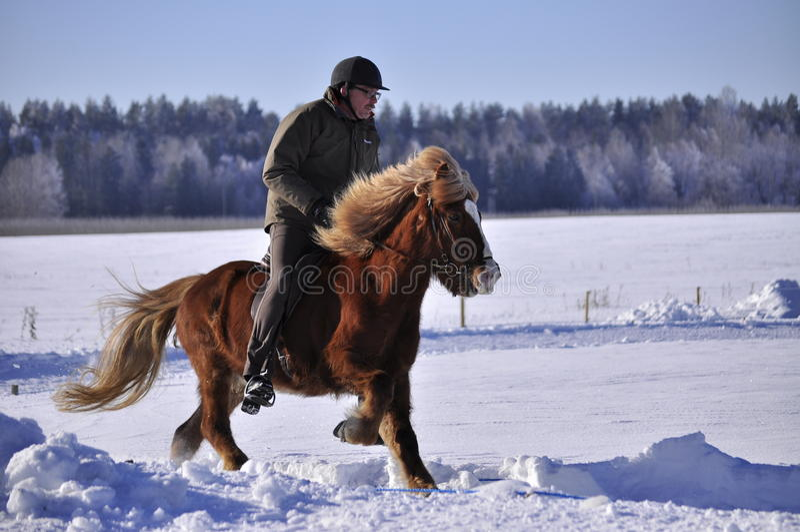 竞争马冰岛语 免版税库存照片