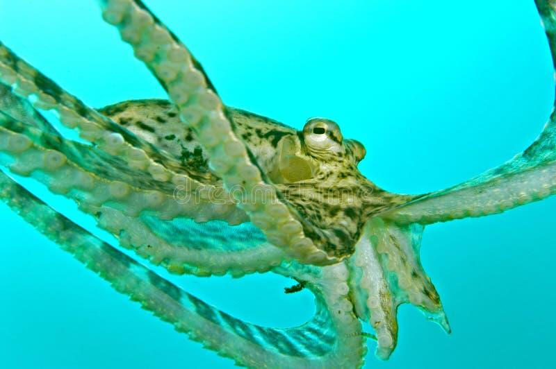 章鱼游泳 免版税库存图片