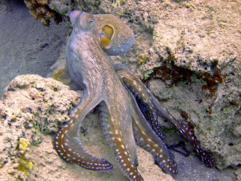 章鱼 库存图片