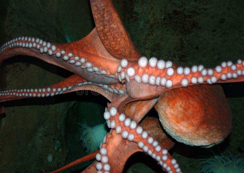 章鱼 免版税库存图片