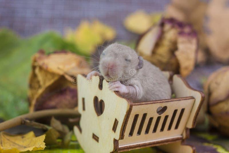 童年的概念 老鼠在床上 啮齿目动物特写镜头 免版税库存照片