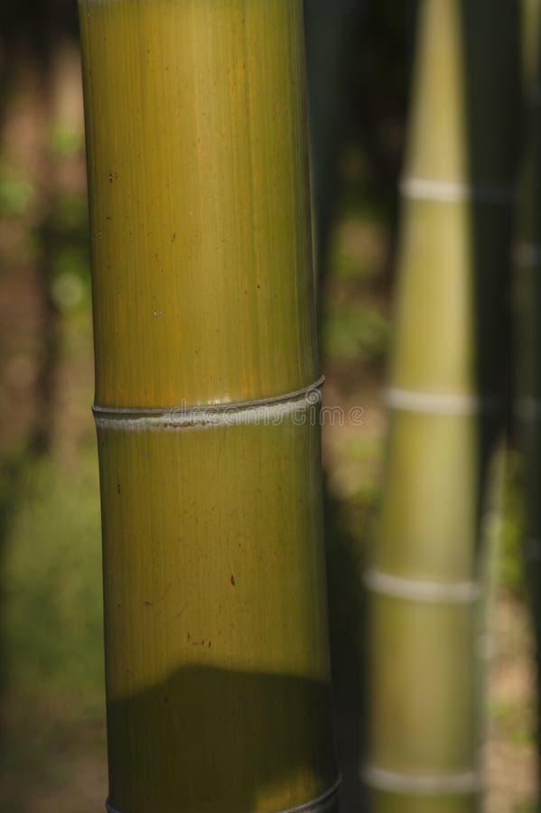 竹厚青树 库存图片