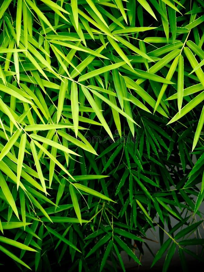 竹叶子的鲜绿色颜色 免版税库存照片