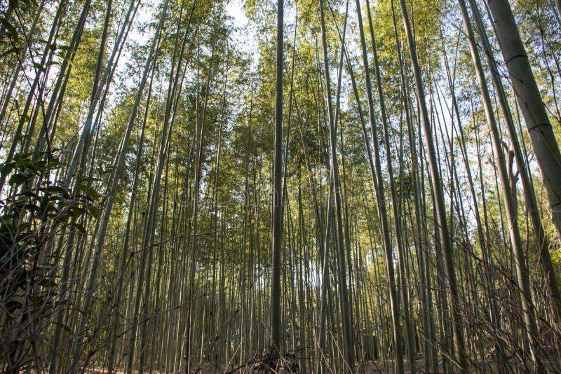 竹子森林是放松的一个巨大地方 免版税图库摄影