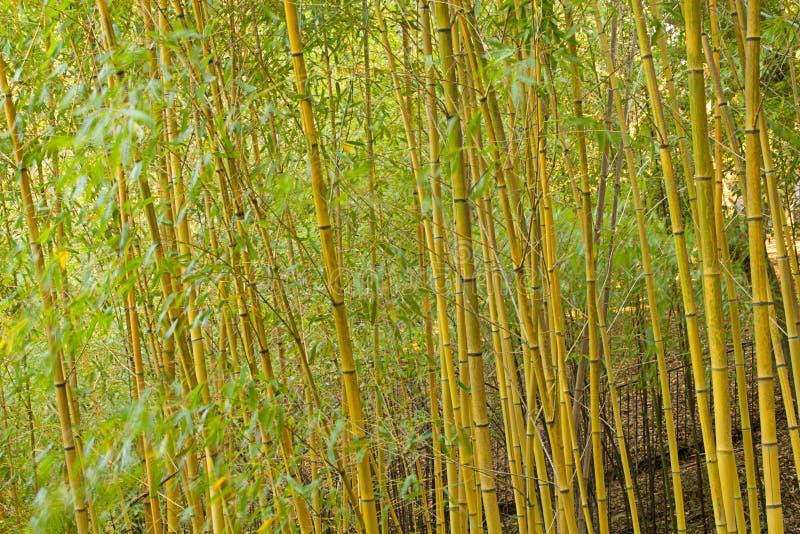 竹子 免版税图库摄影