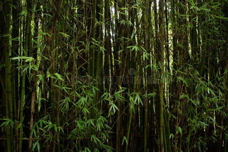 竹密林特写镜头在哥伦比亚 免版税库存照片
