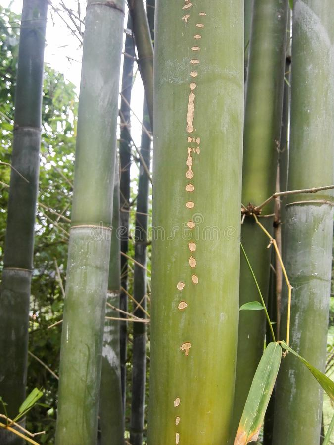 竹斑点 图库摄影