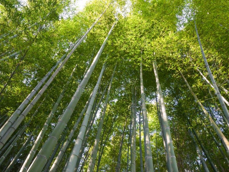 竹树丛京都 免版税图库摄影