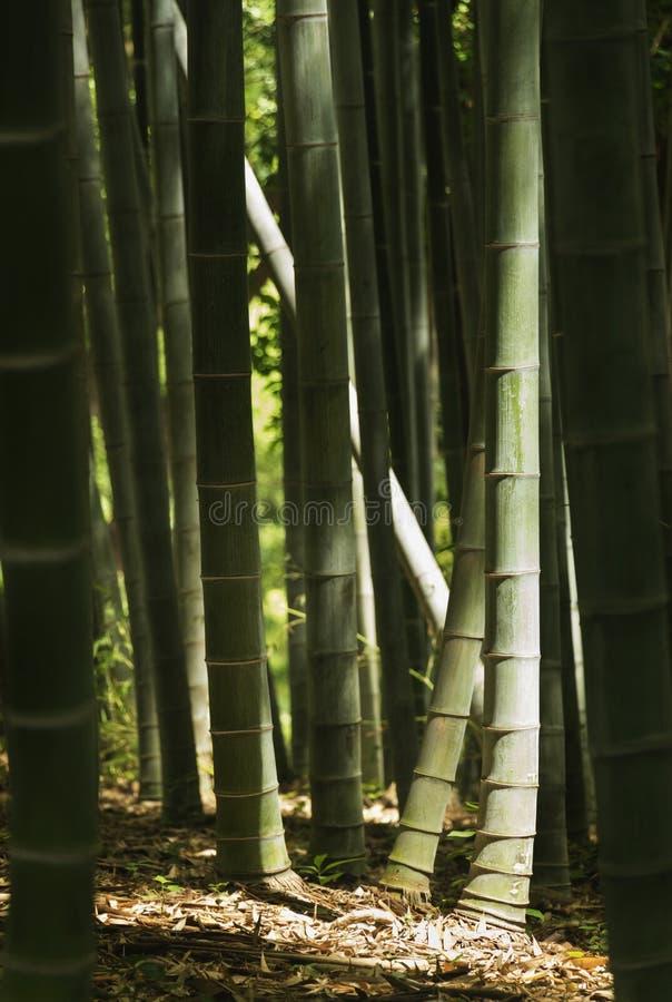 竹树丛在罗马 库存图片