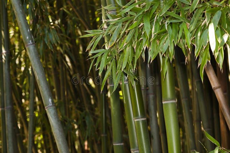 竹树丛自然背景 免版税库存图片