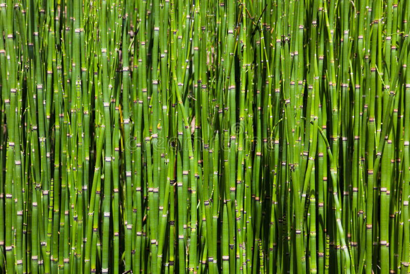 竹树丛 免版税库存图片