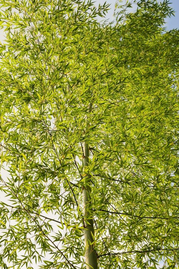 竹树在森林中国里 库存图片