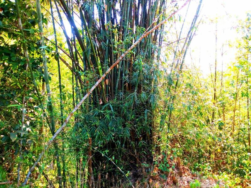 竹树在森林里 库存图片