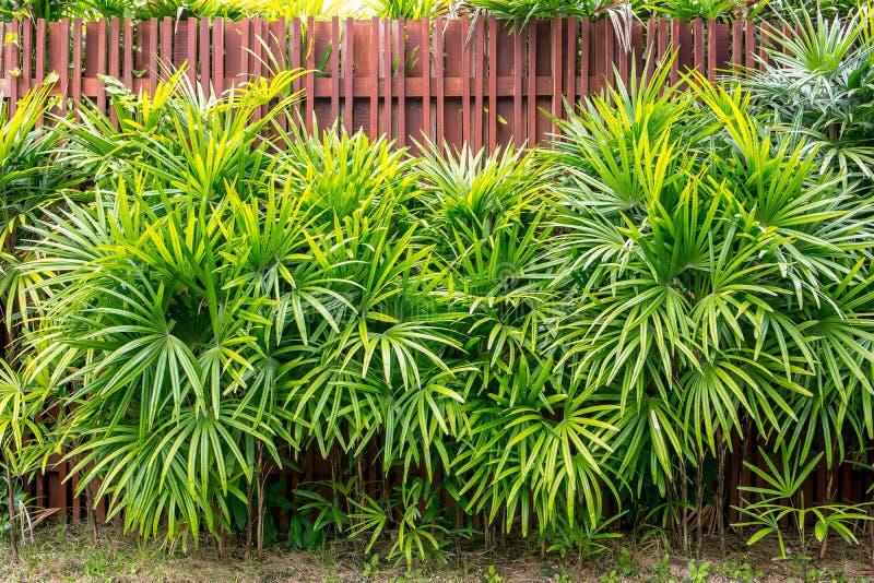 竹棕榈或棕竹有木篱芭背景 免版税图库摄影