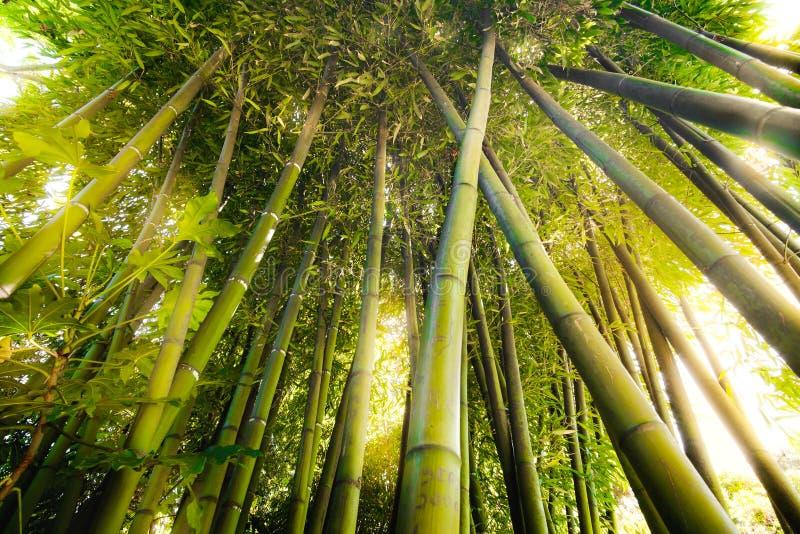 竹森林纹理阳光火光通过树 免版税图库摄影