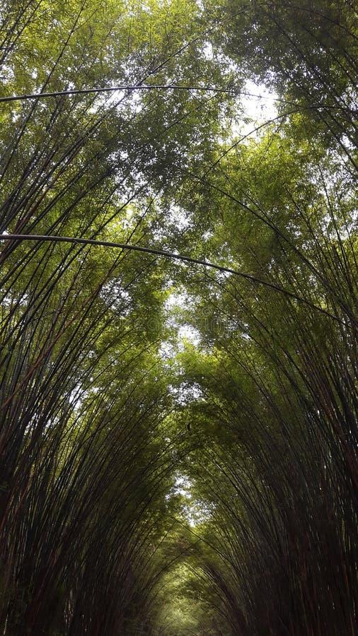 竹绿色树丛 库存图片