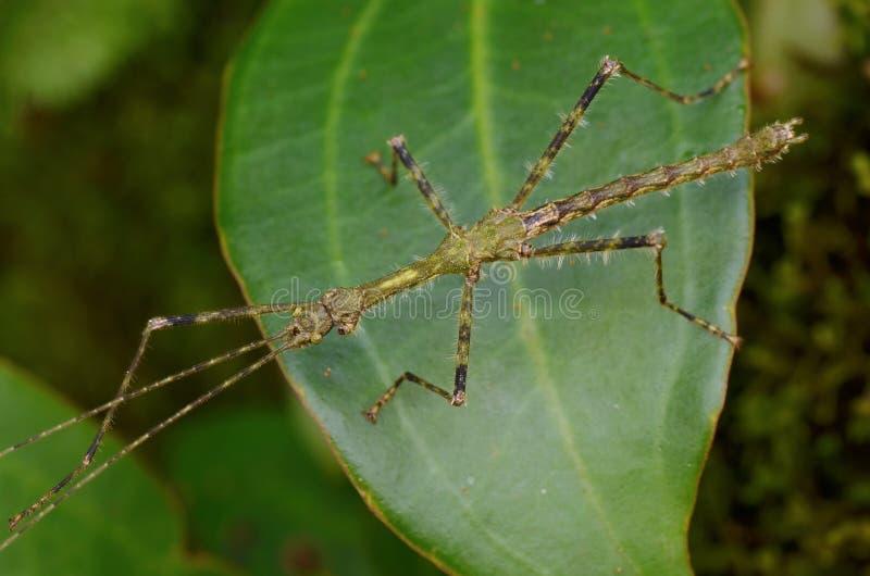 竹节虫 库存照片